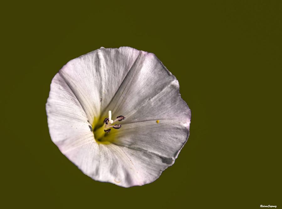 Ipomoea violacea , plaj ayçiçeği